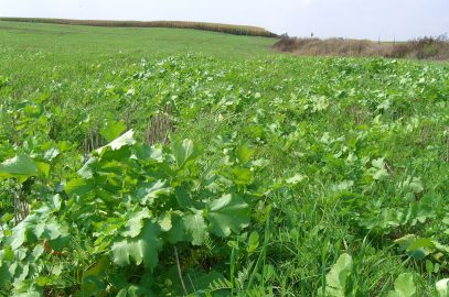 Wet unplanted land:  Use cover crops to save soil, fight weeds and cycle nutrients