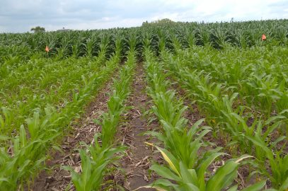 Zero-nitrogen test strips evaluate Nitrogen Use Efficiency in corn